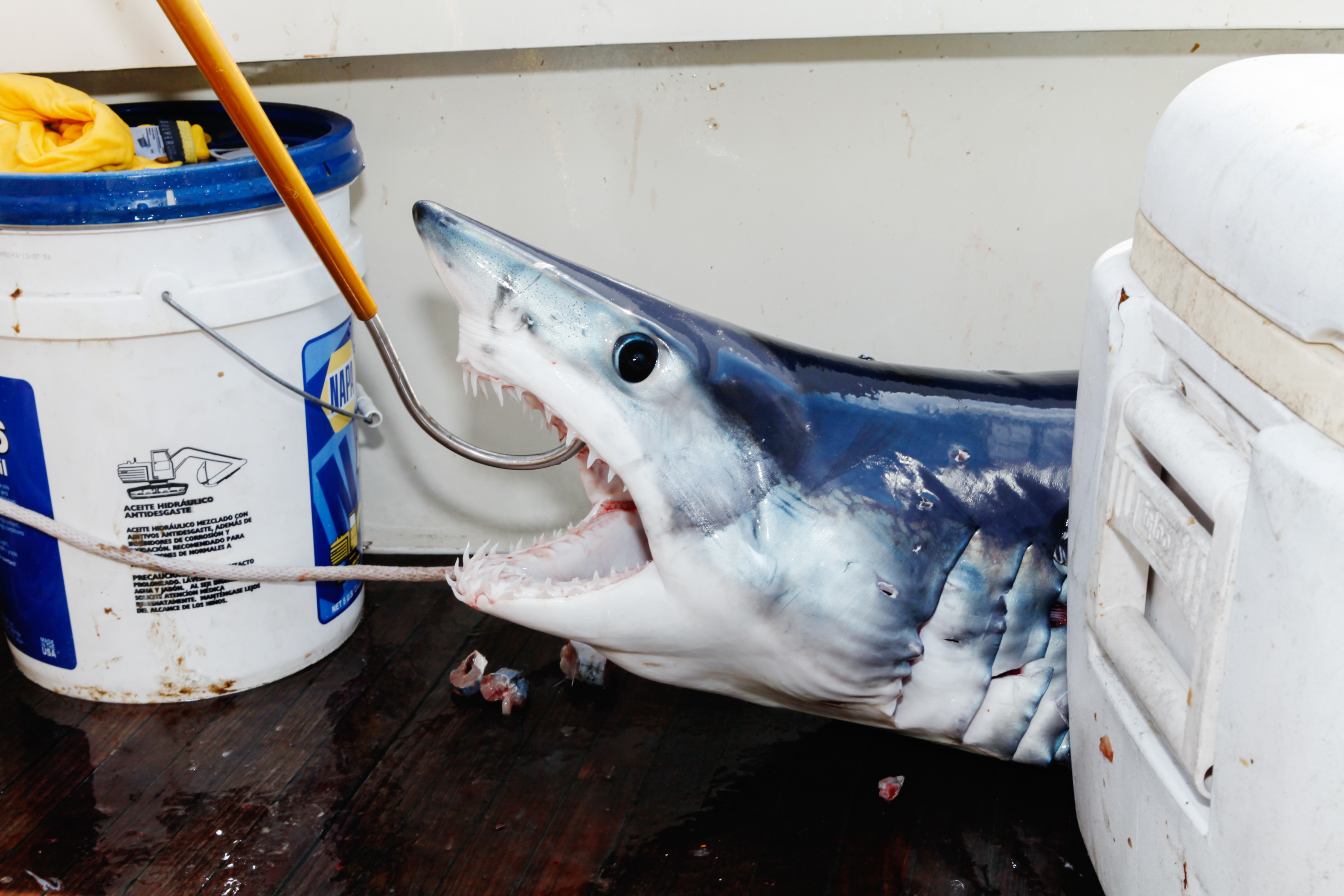 The final catch! A Mako shark, not big enough to bring into the weigh-in for the tournament but big enough to eat.